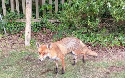 Barbara's Fox – the single father, bringing up his cubs alone
